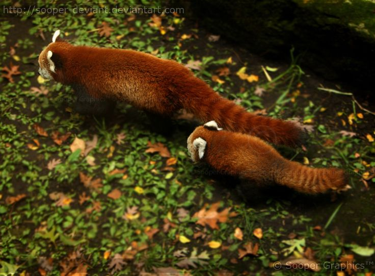 Assez 439 best Red Panda images on Pinterest | Red pandas, Red and Wild  EX76