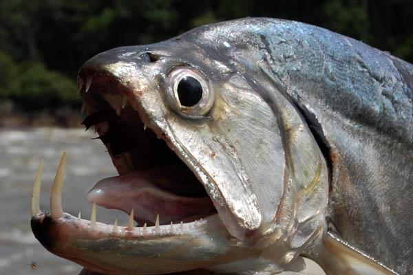 Vampire fish the payara payara pinterest vampires for Vampire fish for sale