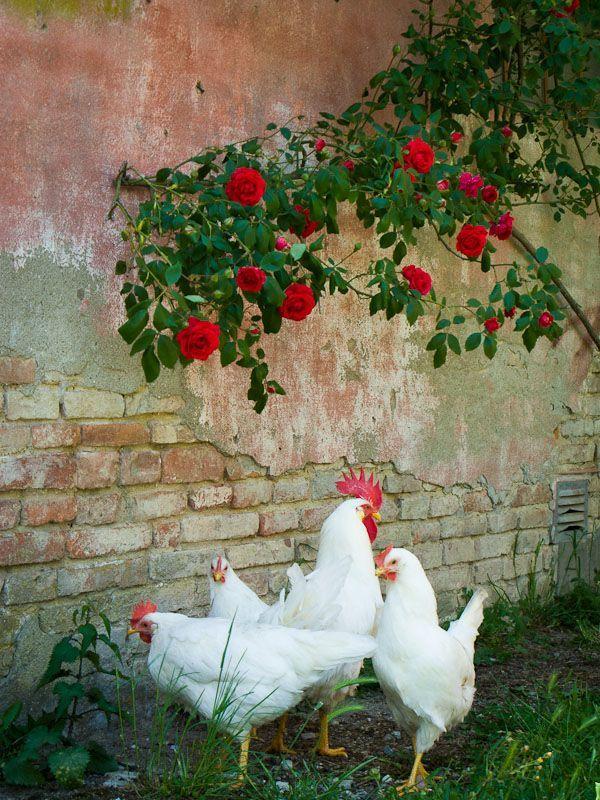 Leghorn Hühner und Hahn