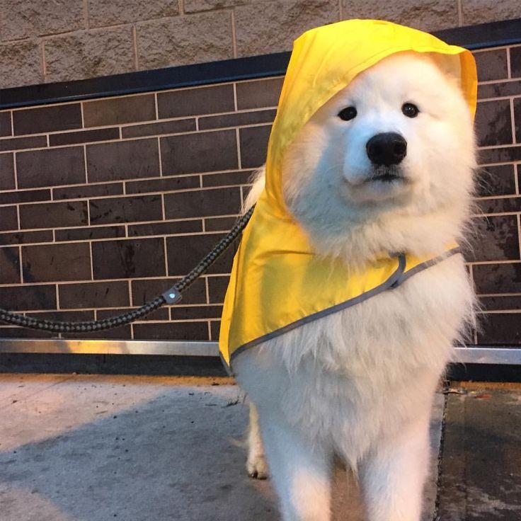 Ready for rain @samoyedrocky