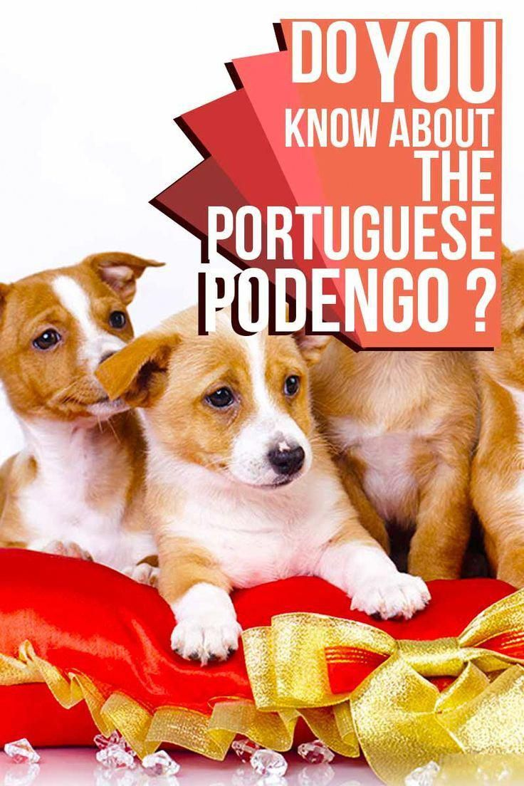 Do You Know About The Portuguese Podengo Do Breed Reviews From