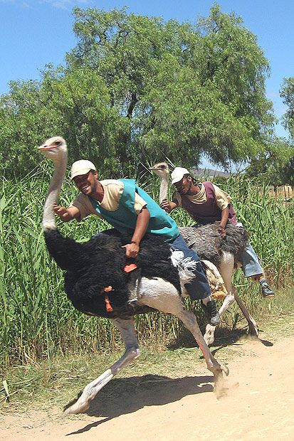 Go ostrich Racing in Africa.   When: Ongoing. Where: The Ostrich farm Highgate in Oudtshoorn. #beforeyoureboring #bucketlist #dieselbucketlist