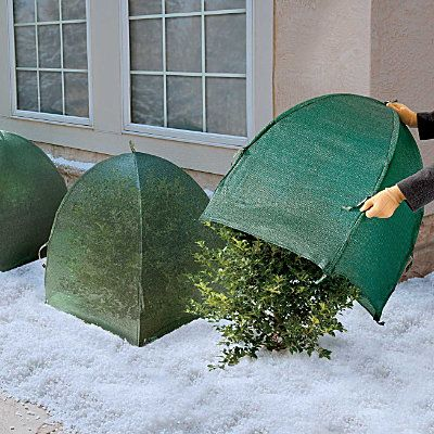 Much easier than trying to wrap rose bushes in burlap in the dark!