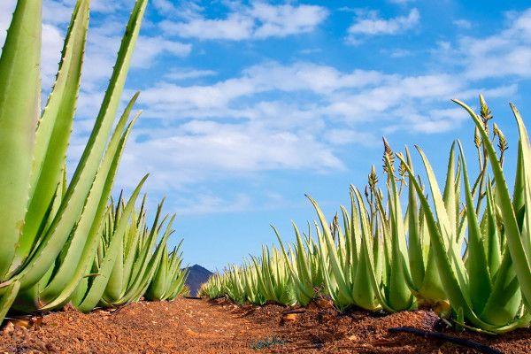 REVITALIZE nápoj od Ramissia SLOŽENÍ: Aloe Vera Barbadensis Miller s dužinou, sirup z agave, prášek z Acai, vitamín C, prášek z hroznů DÁVKOVÁNÍ: 30-40 ml denně