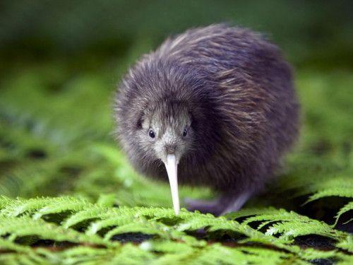 love kiwi birds sooooo CUTE! #Flience