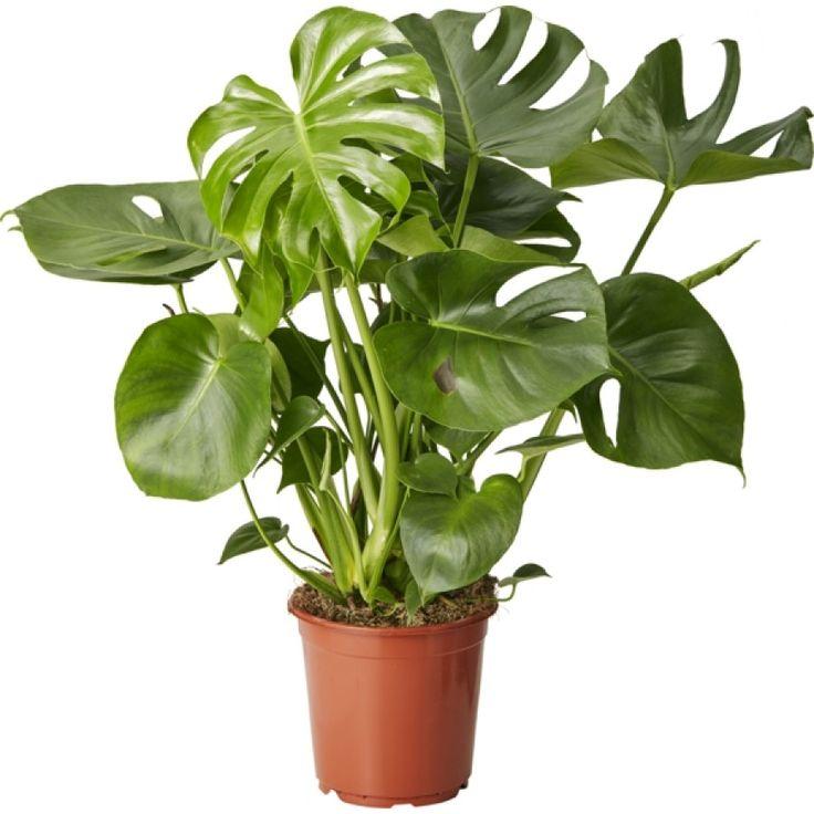 Trendig, karaktärsfull växt som utvecklar vackert flikade blad. Trivs i ljust läge, men även en bit in i rummet. Vattnas då jorden nästan torkat upp, ungefär en gång i veckan. ...