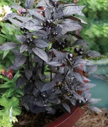 Capsicum annuum 'Black Pearl' 18 inches tall and almost as wide. needs plenty of sun and warm temperatures