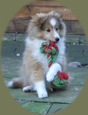 So Pretty, Shetland Sheepdog Puppy.