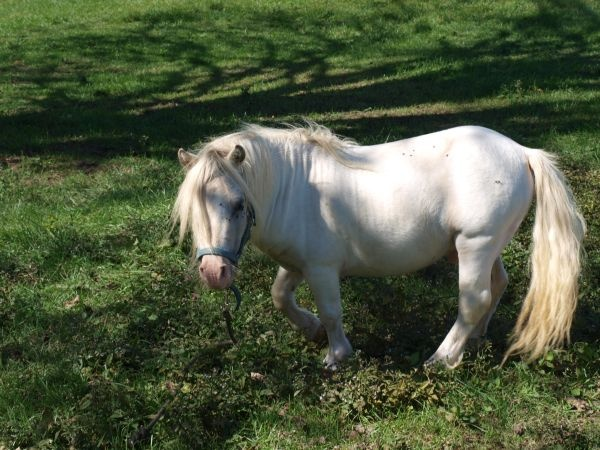 White Miniture Horse - $500 (Mt. Sterling Area)