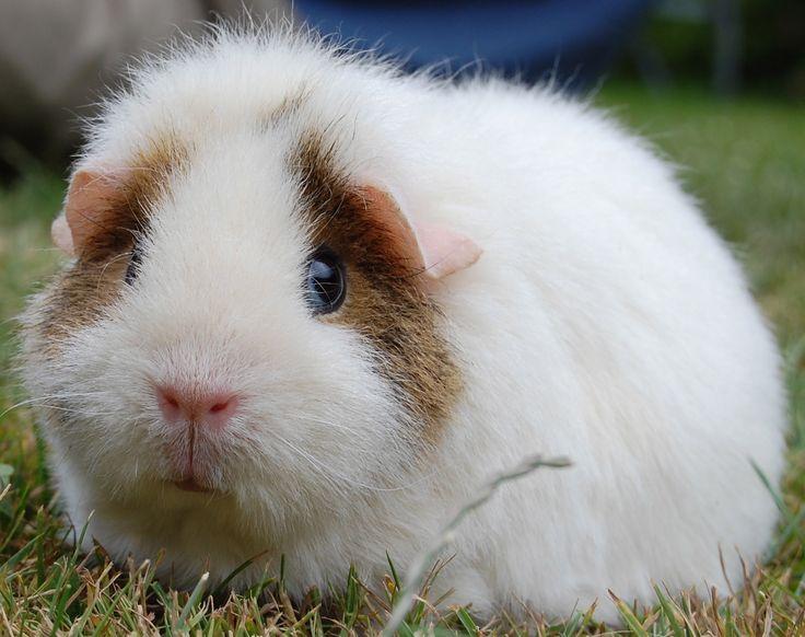 Meg the teddy guinea pig