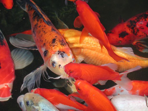 44 best aquariums images on pinterest fish tanks for Pet koi fish tank