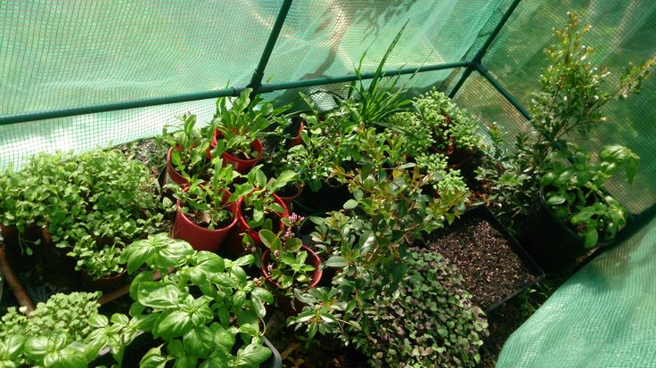 Micro Farming with fresh salads at Marty's Micro Farm in Byron Bay Australia.  This is inside the greenhouse at Winter!