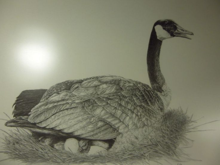 Canadian Pencil Drawn Mother Goose Sitting On Her Eggs Signed By Mike Riley  #IllustrationArt