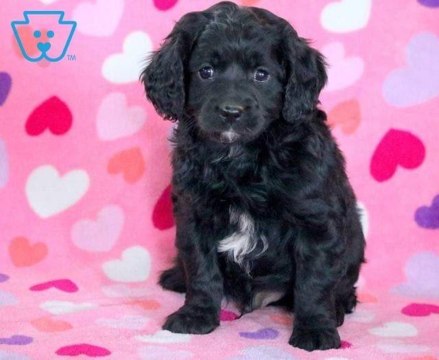 Heaven Cavapoo puppies, Cavapoo puppies for sale