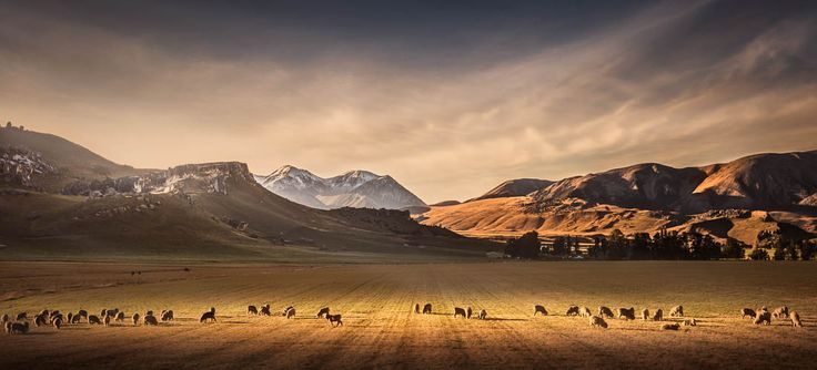 Landscape print of sheep grazing in a beam of sunlight at Castle Hill, New Zealand.