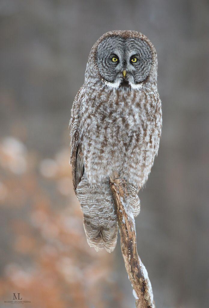 Chouette lapone - Great grey owl - Strix nebulosa