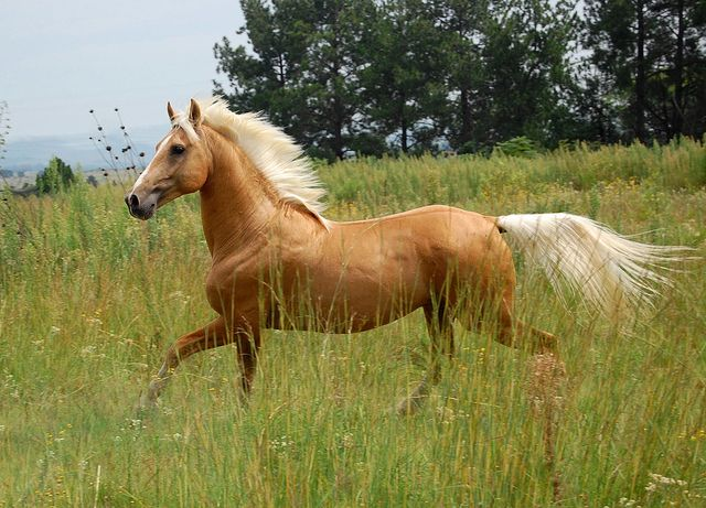 Someday, I will own a palomino horse and call him Legolas! Since Legolas the Elf isn't real, :( then this is probably the next best thing! :) <3