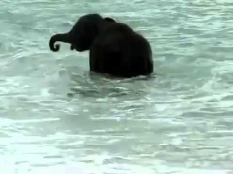 Baby elephant's first time in the ocean. So sweet! #elephantlove #elephant #Elephantconservation