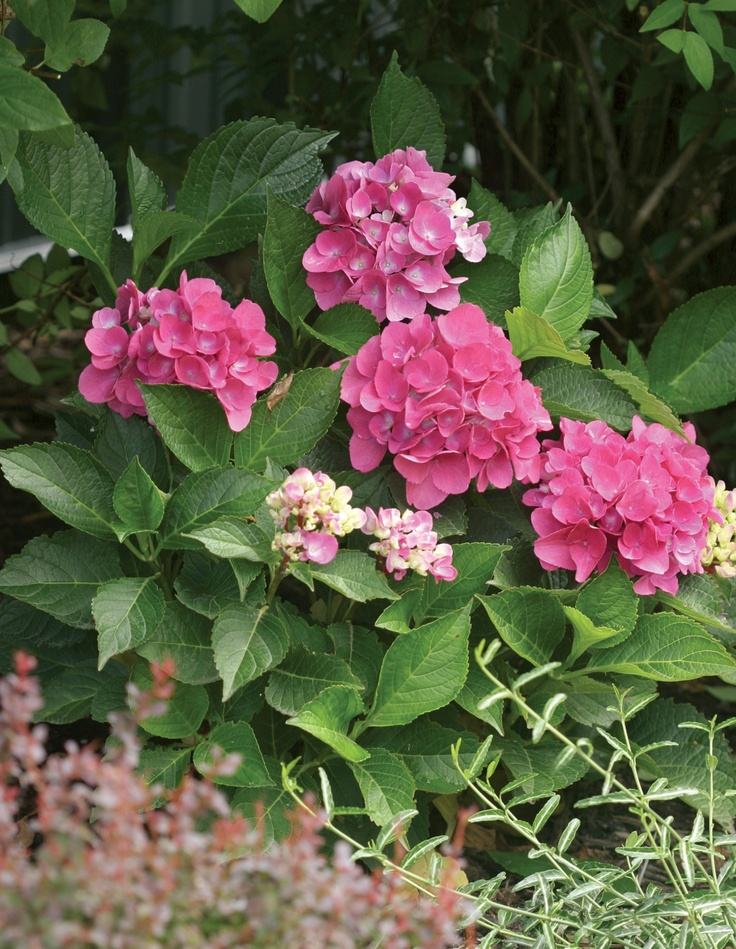 67 best images about shrubs small trees on pinterest for Pink flowering shrubs