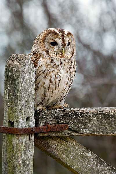 Owl on the farm gate - Mark Hancox