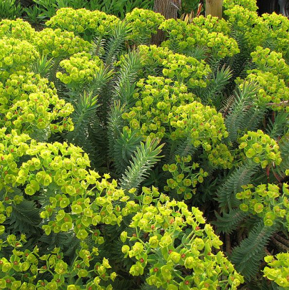 Silver Spurge - Euphorbia rigida | succulent | 1'-2' H x 2'-3' W | showy chartreuse-yellow bloom display | sun | low water use