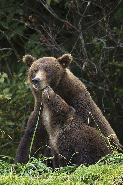 © Suzi Eszterhas - Alaskan Brown Bear Ursus arctos middendorffi Mother and 6-8 month old cub(s) Katmai National Park, AK