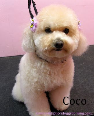 28 best dog grooming images on pinterest little dogs puppys and torrance best dog grooming shop specializes in japanese dog styling solutioingenieria Choice Image