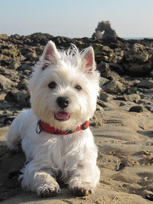 Westie - O agitado Westie é feliz, curioso e está sempre no meio das coisas. Ele é afetuoso e carente, um dos terriers mais companheiros.