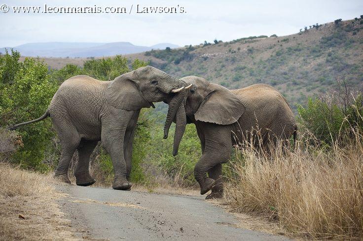#Elephant roadblock, Ithala GR. #safari #SouthAfrica