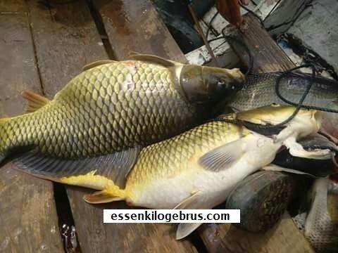 Disini kami selalu memberikan berbagai informasi mengenai racikan umpan jitu, salah satunya yaitu Umpan Jitu Tembleg Ikan Mas dengan tambahan Aquatic Essen Terbaik.