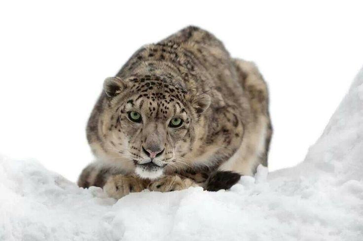 Cleveland Metroparks Zoo   Snow Leopard   Cleveland, Ohio   Pinterest   Cleveland and Ohio