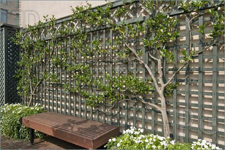 -Picture of Espalier Trees on Trellis with Bench in Roof Top Garden