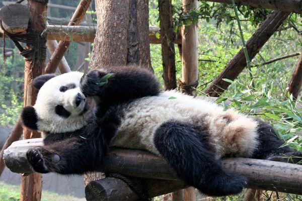 Die Riesenpandas in China gelten als Heiligtum. In Anjas Blog findet ihr viele nützliche Infos für eure China Reise. #Panda #China