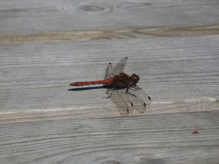 Dragonfly in Uusikaupunki Finland
