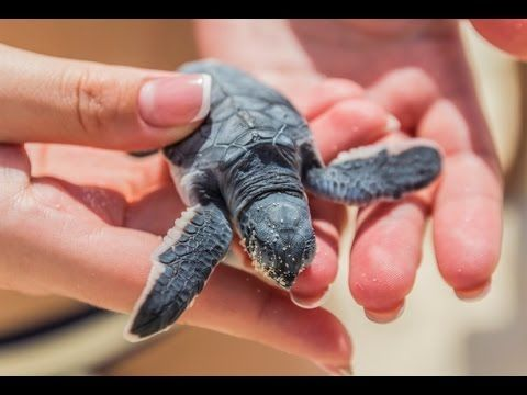 Release sea turtles into the water in Cost Rica 🐢