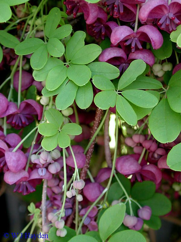 Akebia quinata - my favorite vine thus far discovered.  Amazingly fast growing!