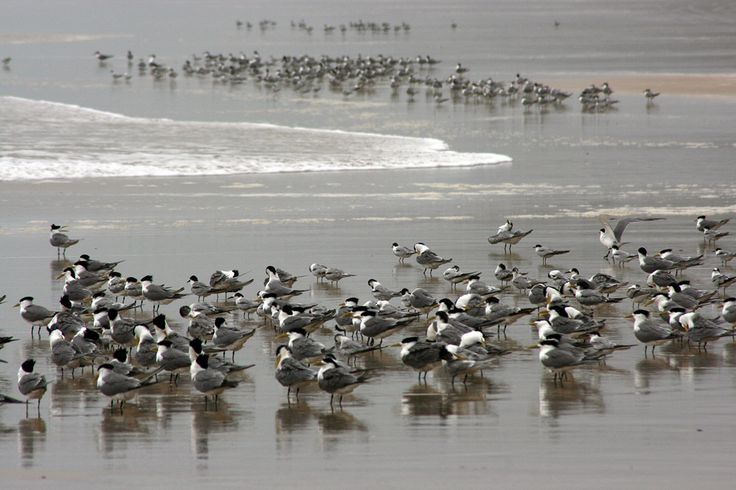 Terns on Teewah Beach