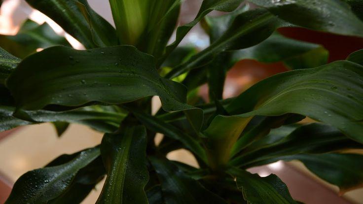 Комнатные растения.  Июль в моей оранжерейке.  Фильм 3.