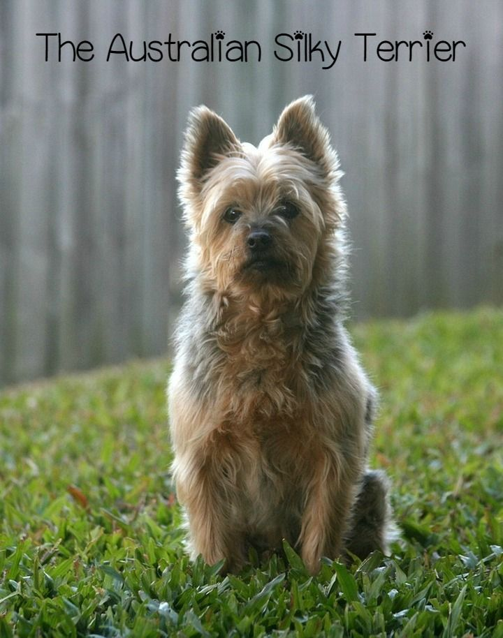 The Australian Silky Terrier is a big dog in a small package. This hypoallergenic dog may be compact, but it has a personality full of joy and spunk.
