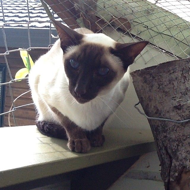 Little Cleo the Seal Point Tonkinese #cat