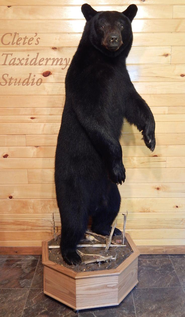 Gun room amp trophy room done hunting - Waelder Area Texas Trophy Room Black Bear Mount Lifesize 380 Lb Pennsylvania Corn Field Bear