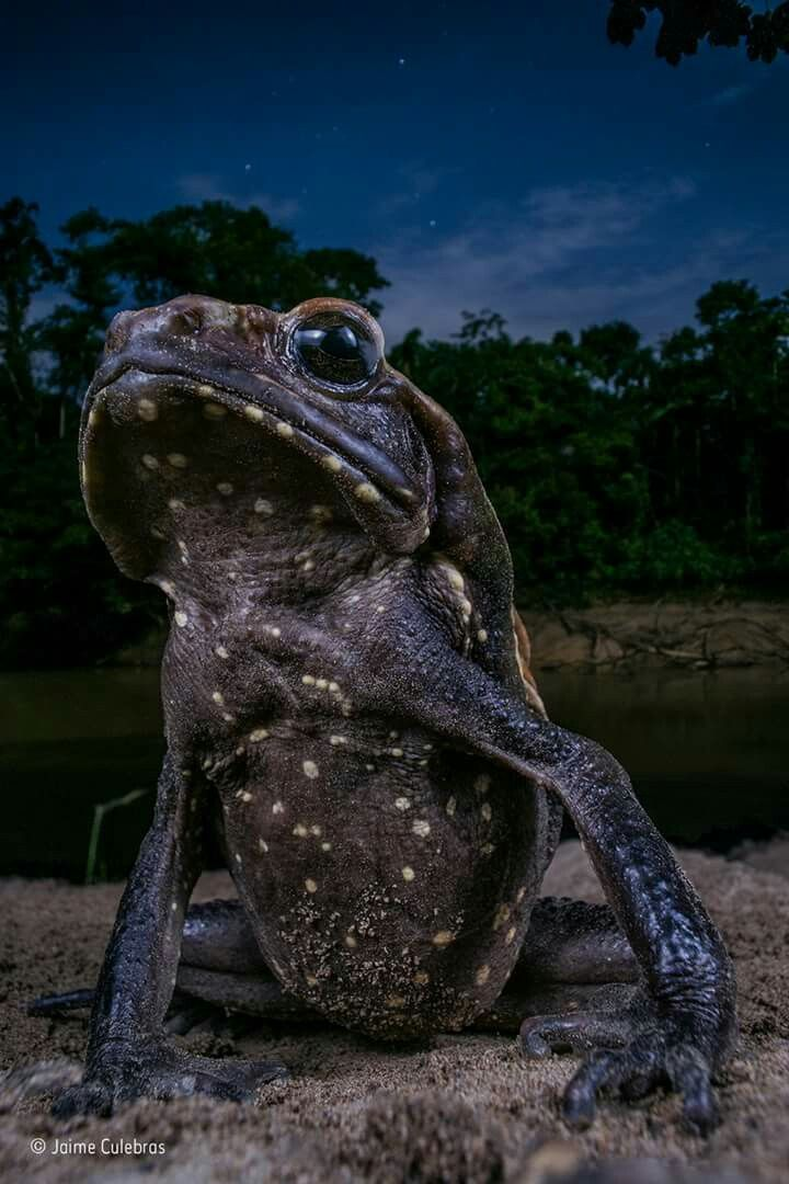 The Spotted Toad is one of the biggest toad species in Ecuador. Happy 2018! Here's a motivational image for #NewYearsDay. Animal Portraits finalist Jaime Culebras felt this toad had invincible attitude, 'as if king of the Amazon'. At about 15 centimetres long the smooth-sided (or spotted) toad is one of the biggest toad species in Ecuador. It can squirt jets of poison from the parotoid glands on its shoulders when threatened.