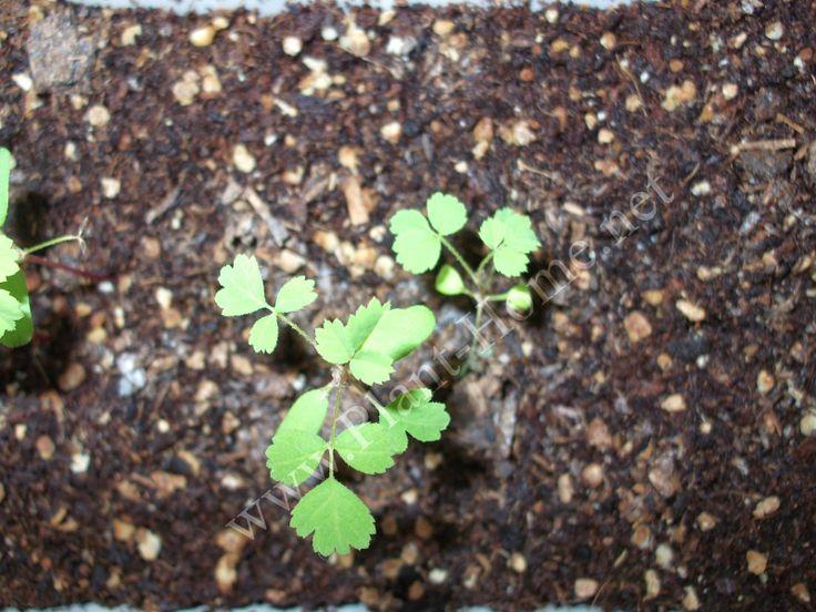 gül tohumları çimlendirme