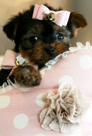This is what my future yorkie will look like. She is adorable!!