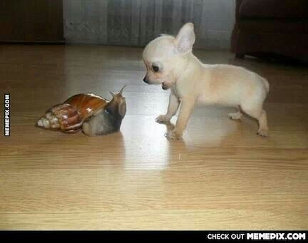 Cutest little Chihuahua! Barking at a snail