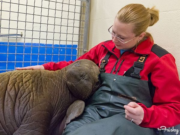 AWW!! walrus calf who got separated from parents :/