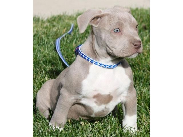 Pin On American Bully