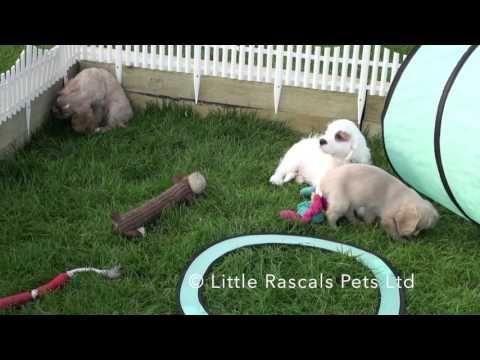 Little Rascals Uk breeders New litter of Cavapoos - Puppies for Sale 2015