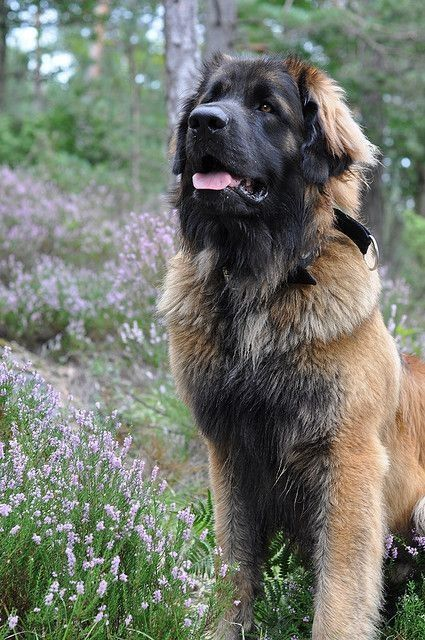 Leonberger - one of the most beautiful dogs on earth