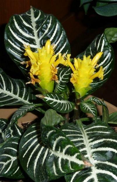 Aphelandra Squarrosa: 60 Best Succulents: Living Stones Images On Pinterest